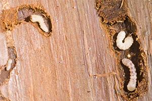 Защита дерева от насекомых